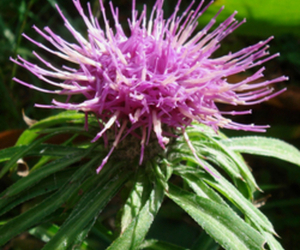 Cirsium Oligophyllum